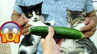 هذا ما تفعلة القطط عندما تشاهد الخيار#حيدرومريم