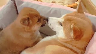adorable-moment-between-mom-potat-shiba-inu-puppies-with-captions