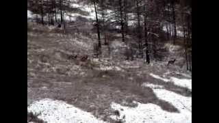 Охота на изюбрей - супер видео 2014
