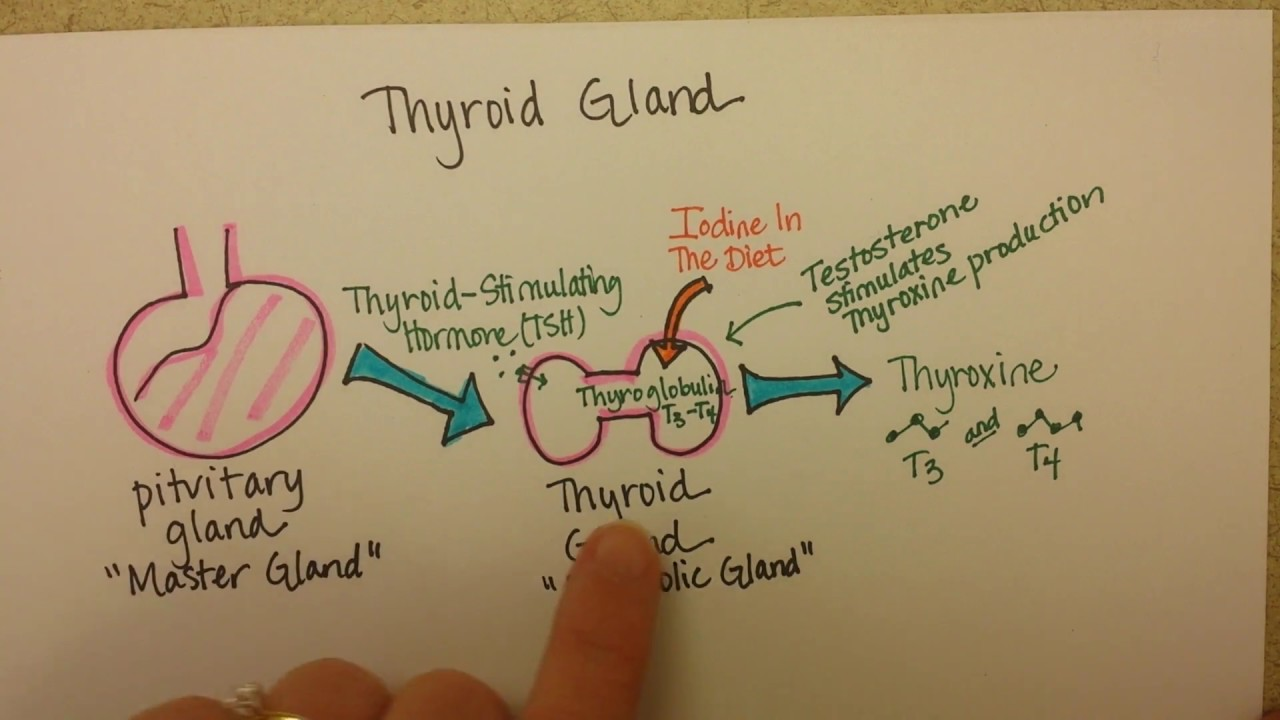 Thyroid Gland Function Youtube