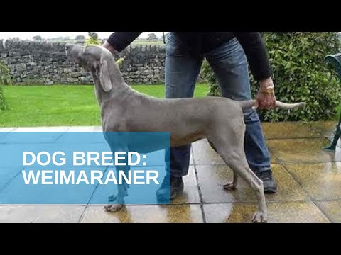Dog Breed Video: Weimaraner