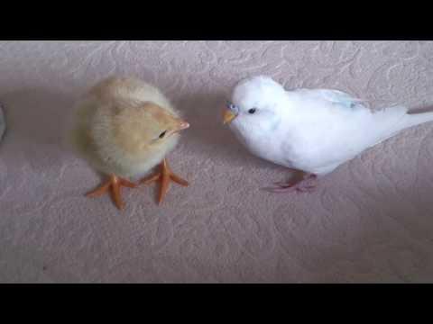 Muhabbet kuşunun civciv ile imtihanı ( 1.17. saniye ye dikkat )