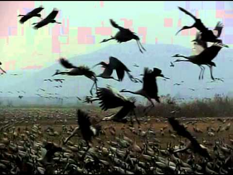 Thousands Siberian migratory Cranes fly in a slow motion in Hula lake Israel - Casio Exilim ZR100