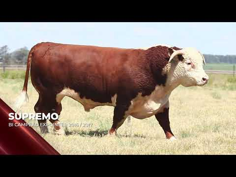 Touro Supremo - Hereford indicado para IATF - RENASCER BIOTECNOLOGIA VIDEO