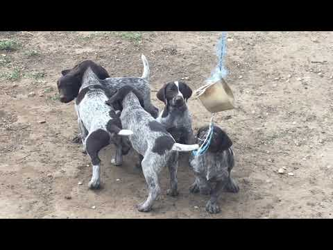 German Wirehaired Pointer litter for sale by: Euro Puppy