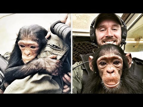 Pilot saves cute baby chimpanzee from poachers | Bored Panda Animals