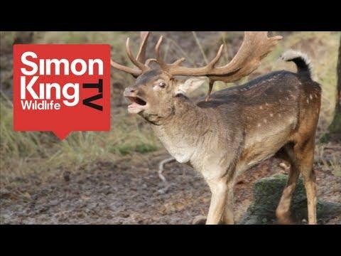 Fallow Deer Rut - The Bucks are Back in Town!
