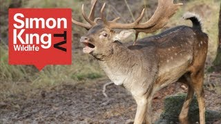 Fallow Deer Rut - The Bucks are Back in Town! Simon King watches the bucks strut their stuff in the New Forest in southern England, chasing the does and scrapping with their foes!