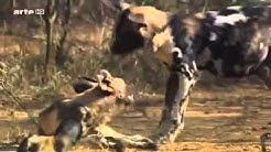 Wildhunde   Afrika Doku deutsch
