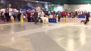 Great Pyrenees Judging Saturday August 17, 2013