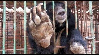 Chấm dứt nạn nuôi nhốt Gấu tại Việt Nam - Ending Bear farming in Vietnam - VTC10