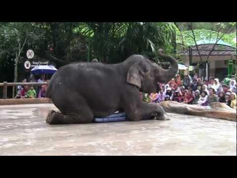 Atraksi Gajah di Taman Safari Indesia
