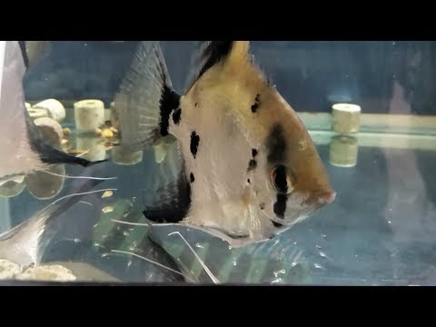 What To Feed Egg Layers Fry, How To Feed Betta Fish Fry Or Angelfish Fry, Live Food Or Dried Food