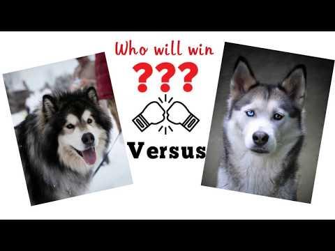 Malamute vs Husky. Dog comparison based on 33 criteria