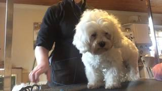 How to groom a maltichon dog step by step