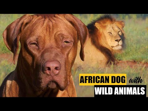 Rhodesian Ridgeback SCARES the LION and CHEETAH | LION DOG vs. WILD ANIMALS