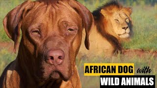 Rhodesian Ridgeback with WILD ANIMALS  FACTS