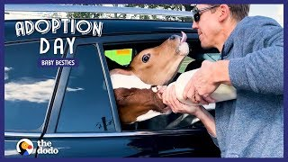 guy-drives-18-hours-to-save-two-baby-cows-the-dodo-adoption-day