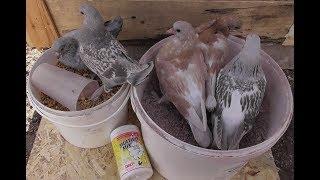 Как получить за сезон много крепких и здоровых голубят 24.03.19