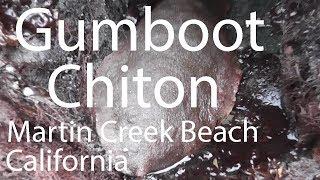 Gumboot Chiton (Cryptochiton stelleri), Martin Creek Beach, California, USA