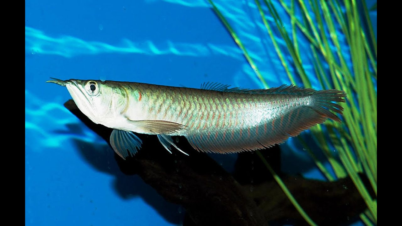 crossback arowana arowana tank mates care red dragon