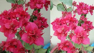 कम देखभाल में ढेरों फूल चाहिए तो गर्मियों में यह पौधा जरूर लगाएं/Get more blooming in less efforts