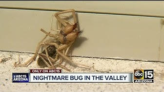Creepy creature a mix between spider, scorpion; native to Arizona