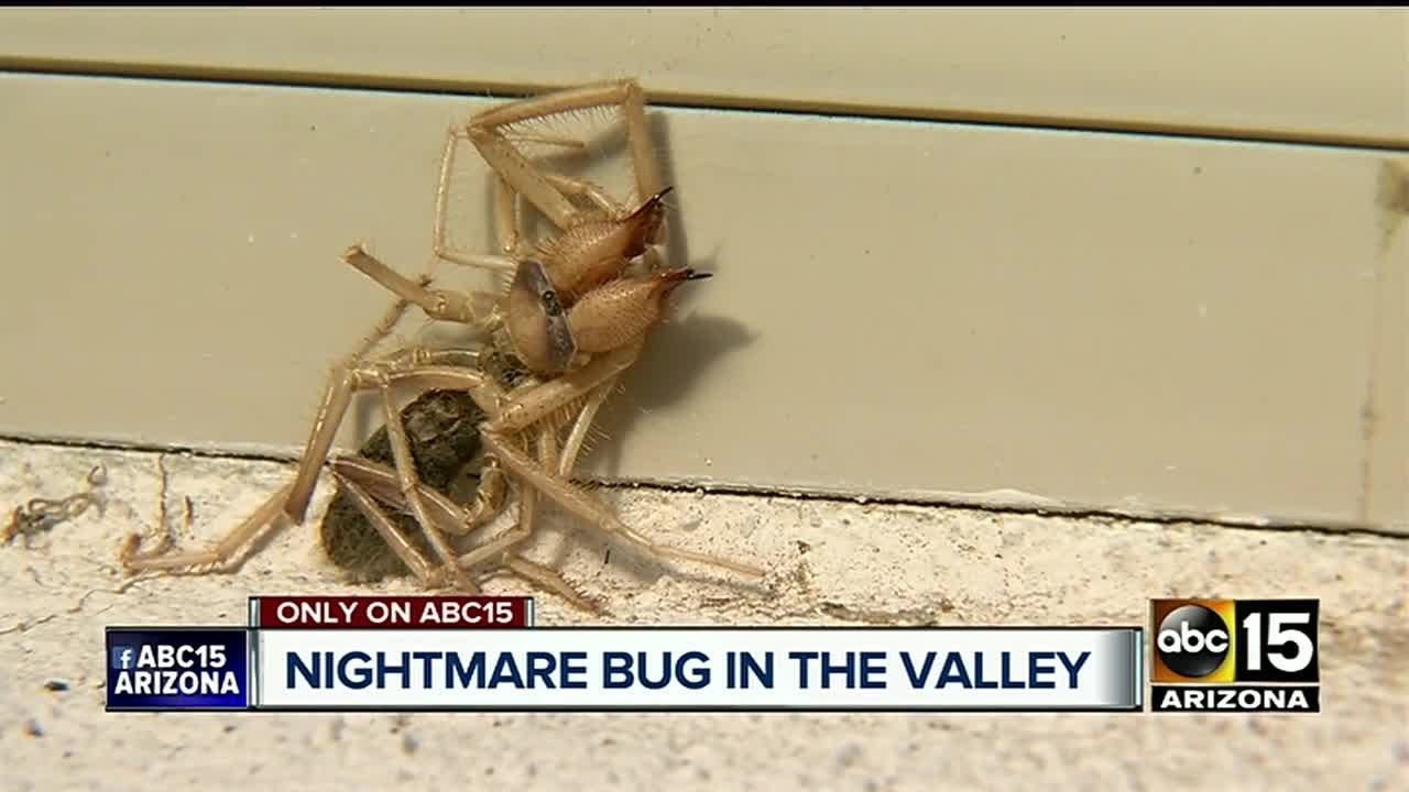 Creepy Creature A Mix Between Spider Scorpion Native To Arizona
