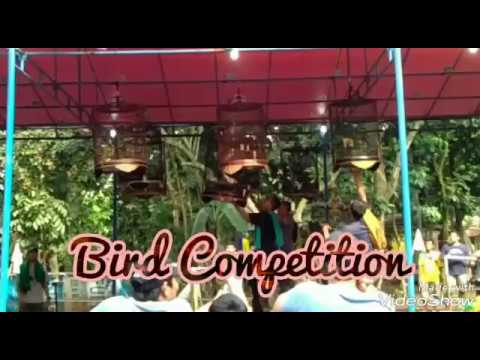 Asli Merdu!!! Kompetisi suara burung 2018(birds sound competition)-Ragam Indonesia