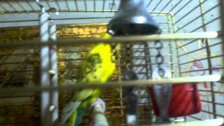 Как ухаживать за волнистым попугаем.