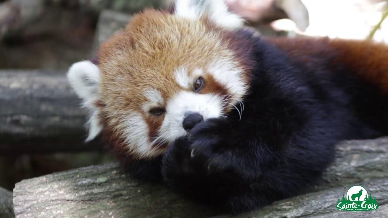 Un panda roux fait sa toilette et cest trop mignon