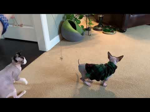 Sphynx Kitty Saturday play date!!