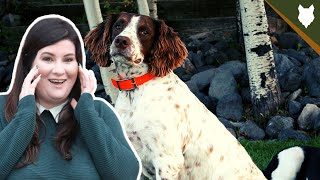 You NEED To KNOW This Before Getting A SPRINGER SPANIEL