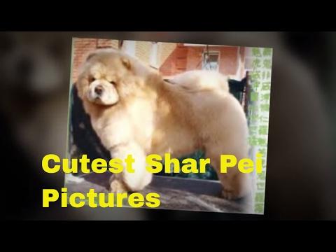 Bear Coat Shar Pei : Ten Cutest Pictures Of Bear Coat Shar Pei