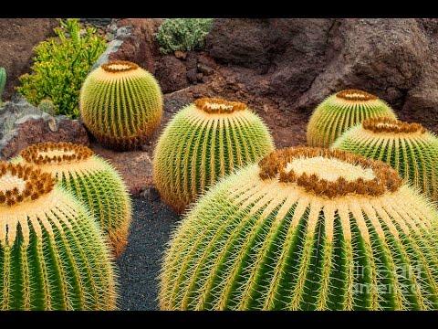 cactus plants for sale cactus plants for sale near me. Black Bedroom Furniture Sets. Home Design Ideas