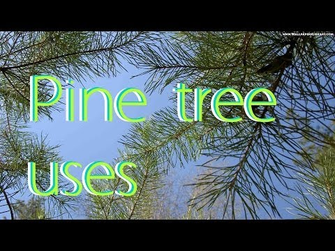 Pine tree uses