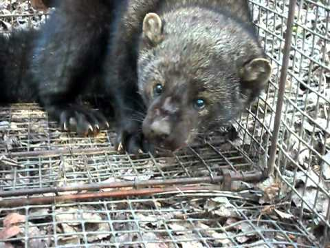 Live Trapping of A Fisher/ Then released by Mackey