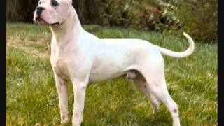 Все породы собак.Аргентинский дог(Argentine Dogo)