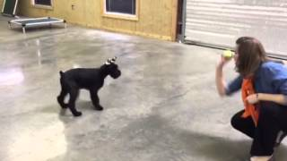 "Giant Schnauzer Puppy ""gidget"" In Training Obedience Protection Family Companion"