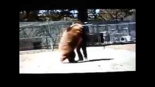 Фатальная атака медведя на человека  Видео нападения  Эти милые забавные дикие животные  Bear attack