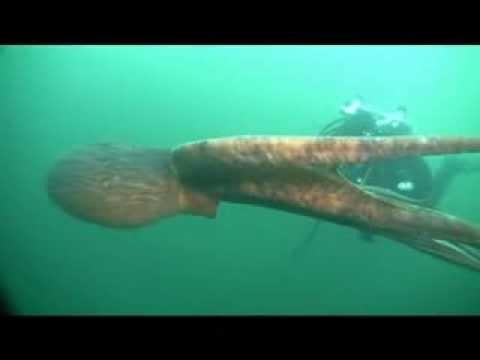 Giant Octopus Swimming In Open Ocean
