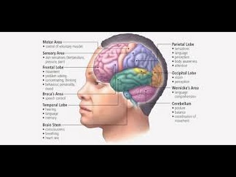 Real human brain and its description youtube real human brain and its description ccuart Gallery