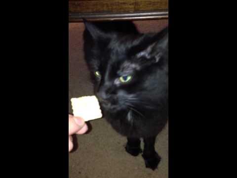 Black cat eating club crackers