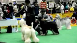 2009 Tokyo international FCI dogshow afghan photographer - HIdden V...