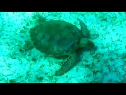 Grazing sea-turtle