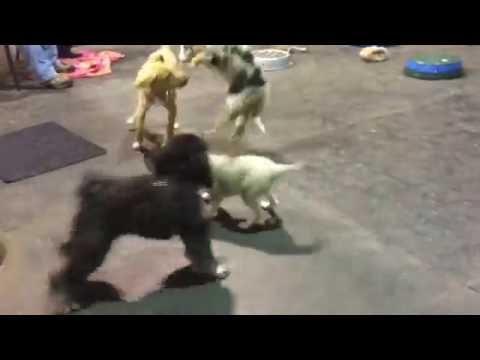 Mia the Alaskan Klee Kai | Puppy Play Time @ Puppy School