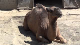 Dromedary / Camelus dromedarius / Одногорбый верблюд - 0065