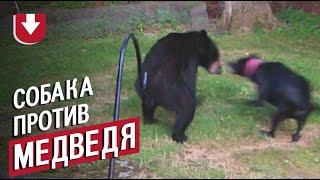 Собака бросилась на медведя, который забрался во двор