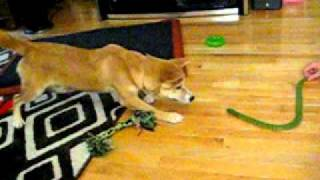 Tiger The Shiba Vs. Wooden Snake