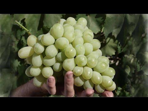 Виноград Лора (Флора), белый виноград